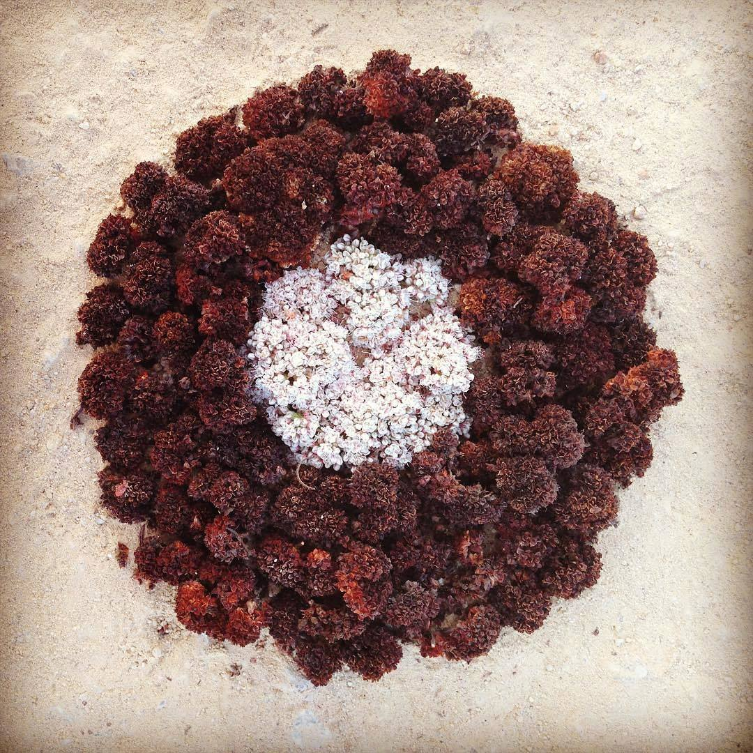 Buckwheat land art