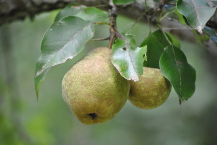 Yard Pears