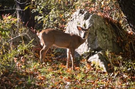 deer (5)