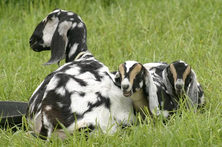 Nubian Goat, Loudon, NH