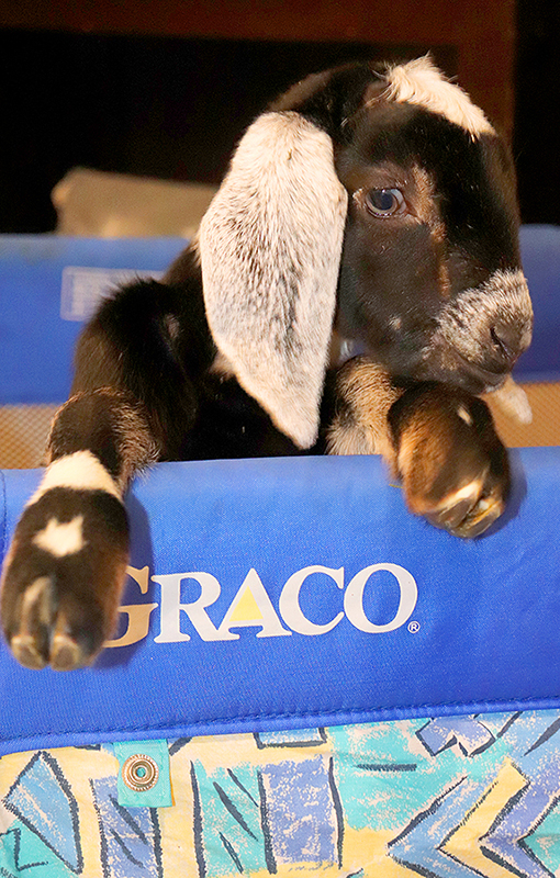 Baby nubian goat for sale