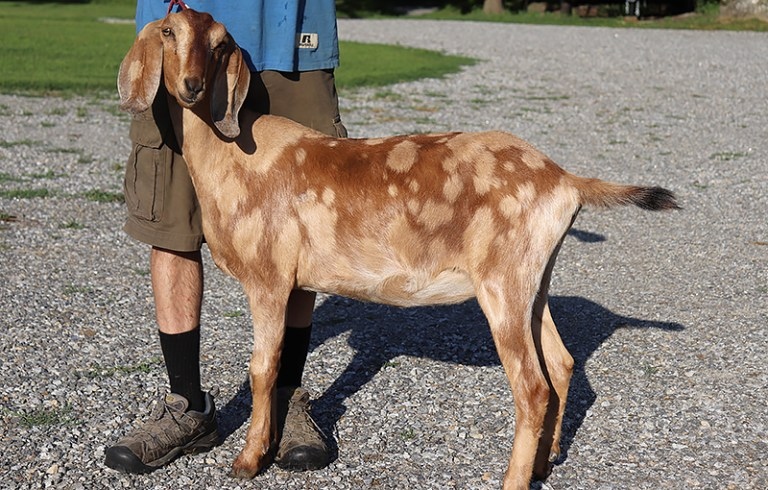 Laurel Nubian Goat, Loudon ,NH