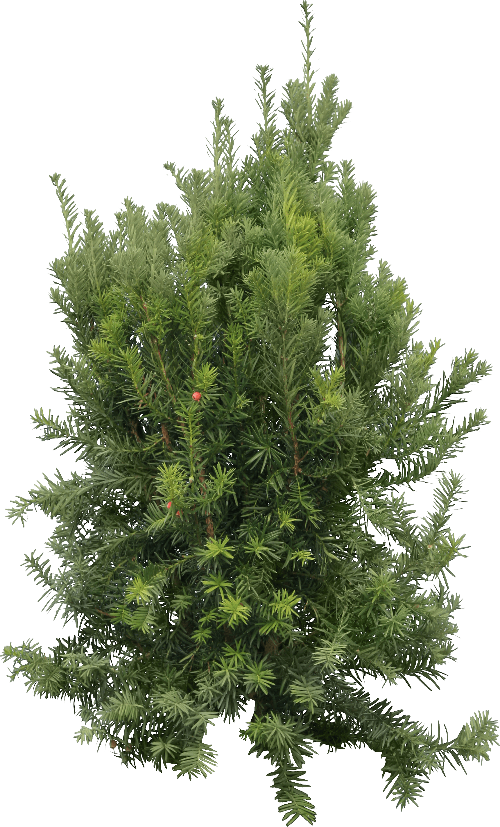 Fir Tree PNG Image - PurePNG   Free transparent CC0 PNG Image Library