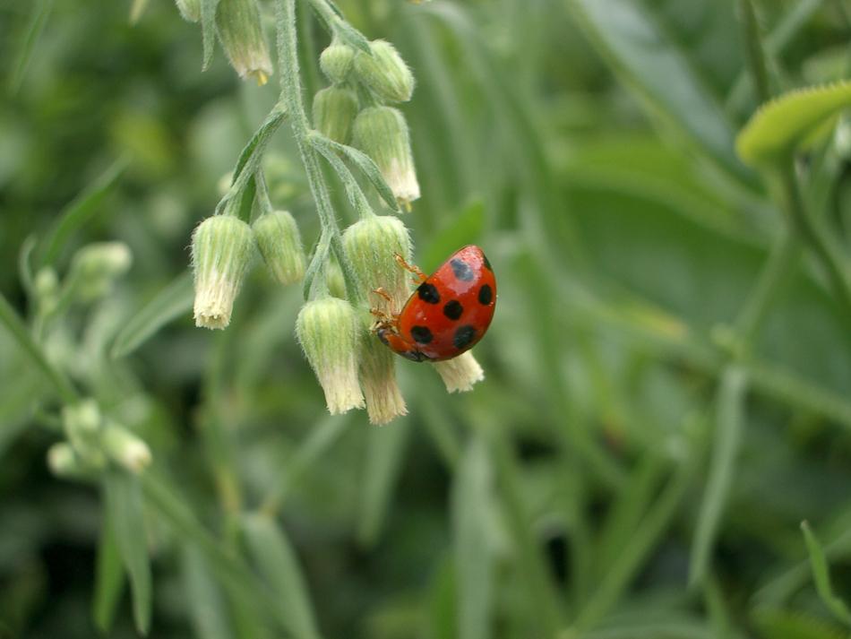 ladybug_on_organic_tea_farm