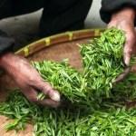 綠茶、紅茶、烏龍茶差在哪?養生該喝哪種茶?