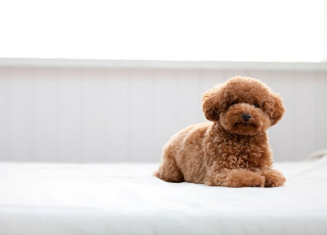 Best Dogs For Apartments Toy Poodle