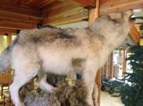 wolf: $2500
