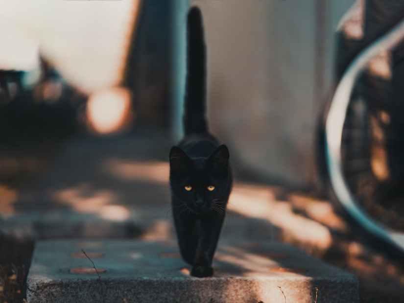 El origen de Halloween - el gato negro, un típico símbolo de la noche de brujas