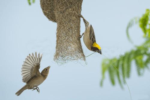 Pájaro tejedo Baya construyendo el nido con su pareja