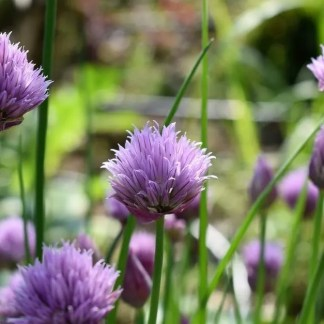 herbs chives
