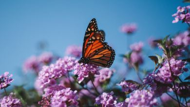 Photo of How to Grow a Monarch Butterfly Garden