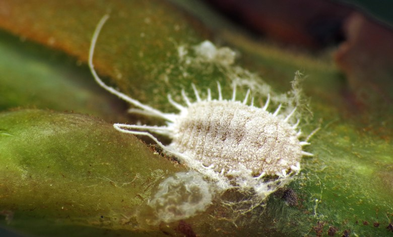 Photo of How to Get Rid of Mealybugs
