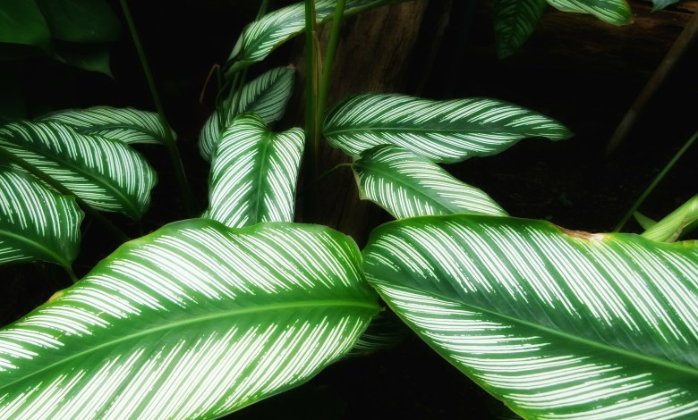 Photo of Calathea Ornata: How to Care for the Pinstripe Plant