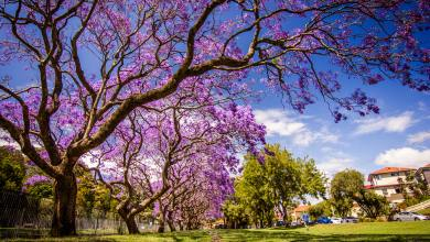 Photo of 7 Stunning Trees with Purple Flowers