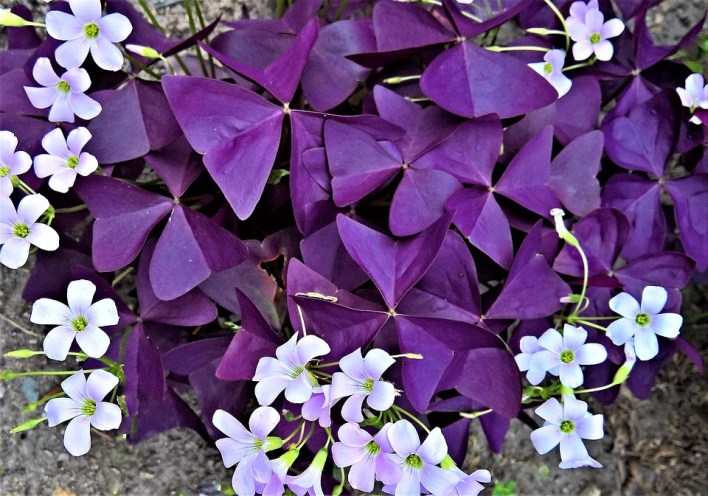 beautiful purple shamrock flowers