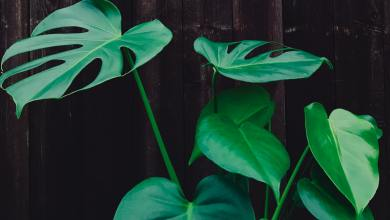 Photo of How to Propagate Monstera
