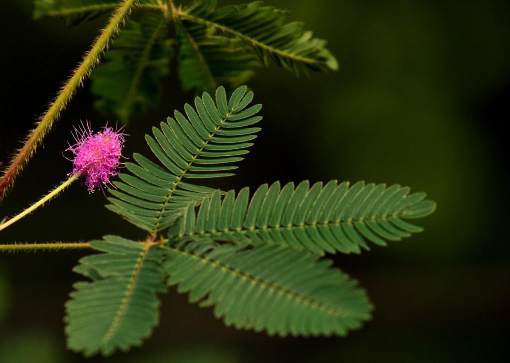 sensitive plant flower