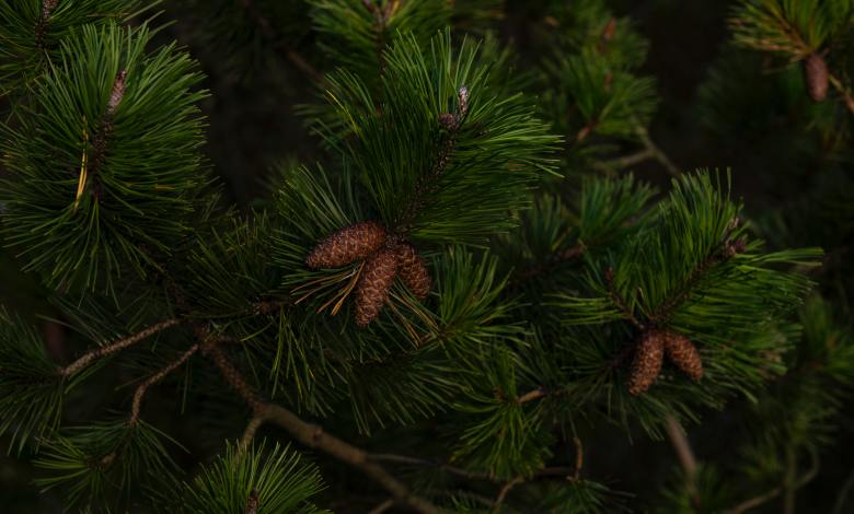 Photo of 12 Types of Pine Trees You Should Know
