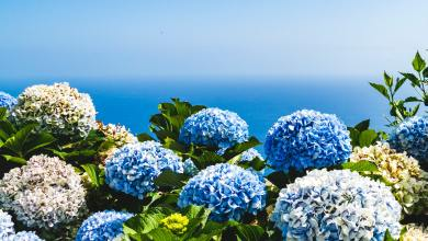Photo of Types of Hydrangeas and How to Grow Them