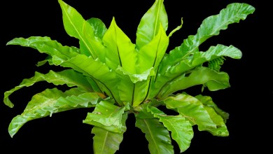 Photo of How to Care for Asplenium Nidus (Bird's Nest Fern)
