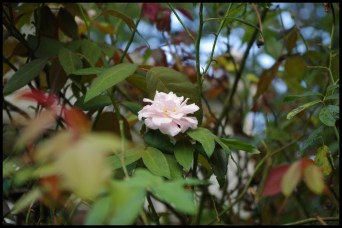 Pink tea rose