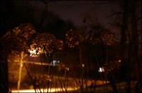 dead hydrangea night sm