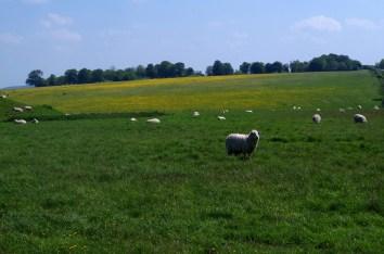 Sheep at Stonehenge.
