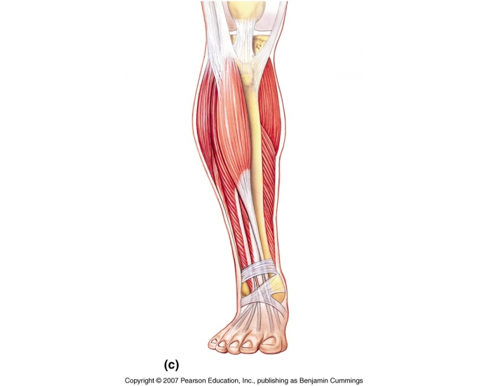Muscles Of The Anterior Leg Quiz