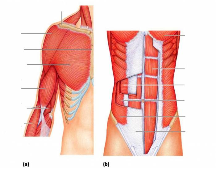 Muscles Of Anterior Trunk, Shoulder, And Arm