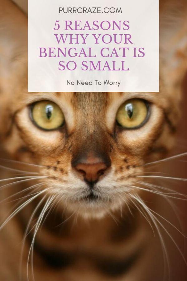 Bengal Cat Size Chart : bengal, chart, Reasons, Bengal, Small, Craze
