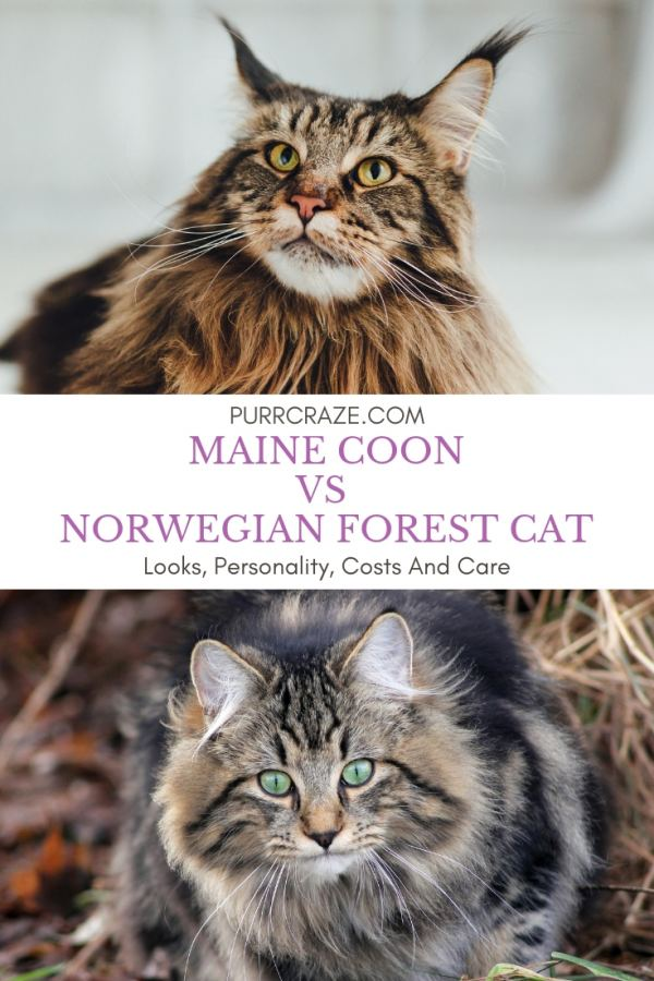 Maine Coon Kittens San Diego : maine, kittens, diego, Maine, Norwegian, Forest, Important, Differences, Craze