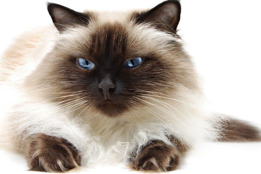 Himalayan Cat  Purrfect Cat Breeds