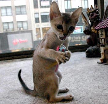Singapura Cat  Purrfect Cat Breeds