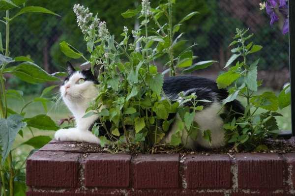 Science Of Catnip - Purrfect Love