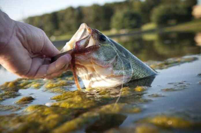 Largemouth Bass Diet