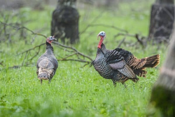 Where to Shoot A Turkey
