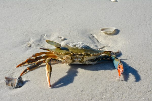 Surf Fishing With Crabs