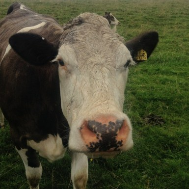 Friendly cow, who was braver than the 19 others.