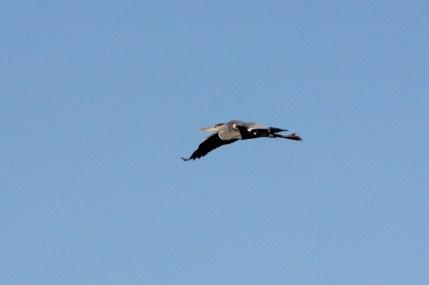 IMG_0954 Heron (Custom)