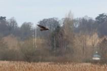 IMG_1163 Marsh harrier (Custom)