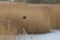 IMG_1166 Marsh harrier (Custom)