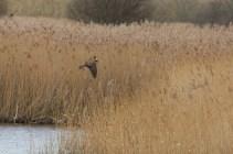 IMG_1167 Marsh harrier (Custom)