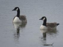IMG_9380 Canada geese (Custom)