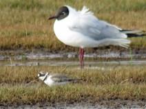 IMG_0546 L R plover & gull (Custom)
