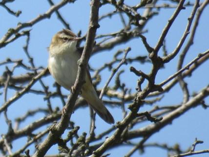 IMG_2467 Sedge warbler