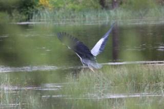 IMG_2548 heron away