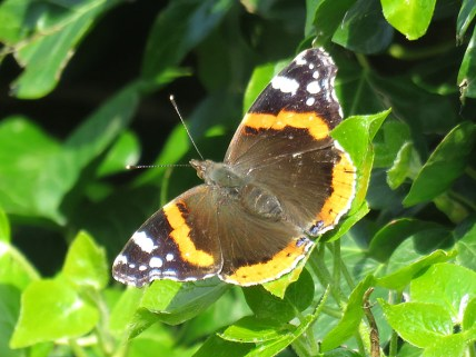 IMG_2986 red admiral