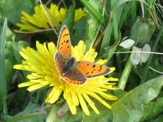IMG_3083 small copper