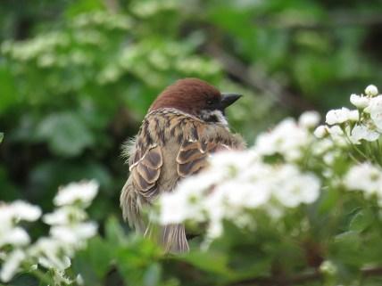 IMG_3184 tree sparrow