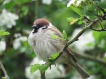 IMG_3195 tree sparrow